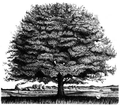 quercia estate